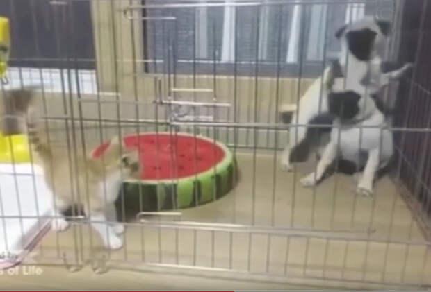 Мопсы впервые сталкиваются с котенком. Смех да и только!