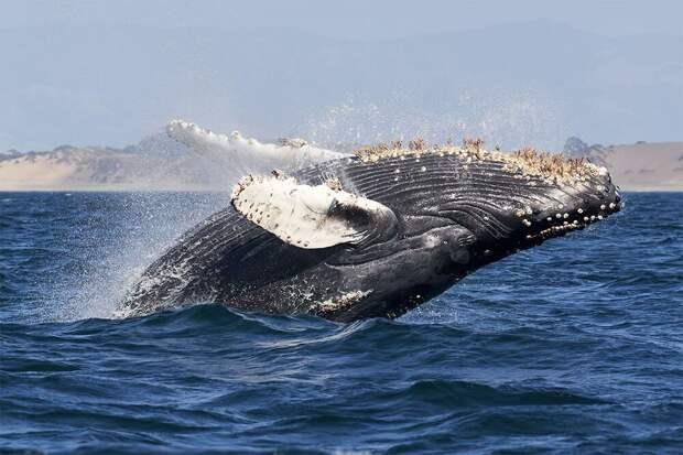 В США кит проглотил человека, а потом выплюнул его