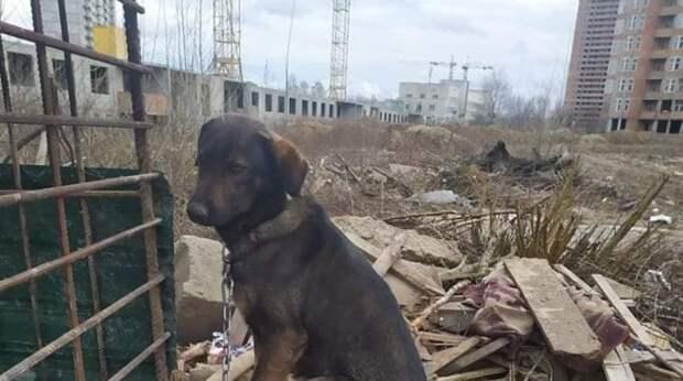 Собаке мешает тяжёлая цепь, на которой она сидит больше 2 лет. А по ночам она воет от тоски…