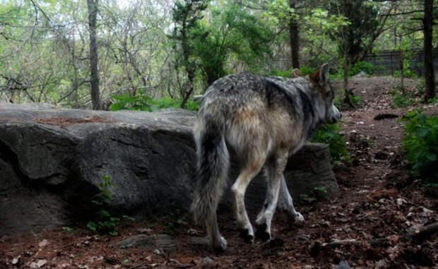 Как завести и вырастить домашнего волка