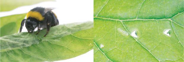 Голодные шмели покусывают листья, чтобы стимулировать цветение
