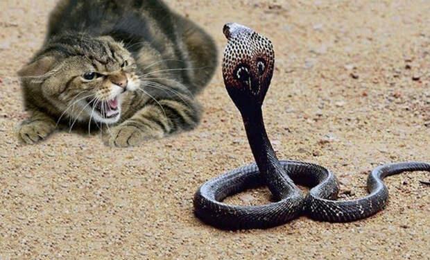 Огромная кобра приползла поживиться во двор и столкнулась с кошкой