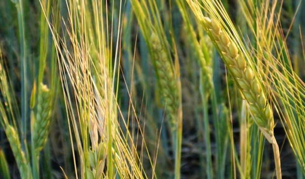 Жаркая погода в Удмуртии может вызвать засуху на полях