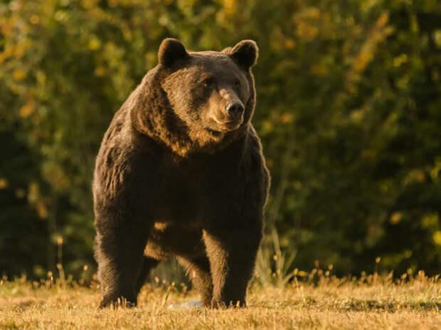 Охотники оправдали принца Лихтенштейна, застрелившего медведя: «Не успел познакомиться»