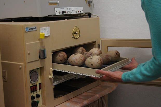 Зоопарк Удмуртии отправил яйца японских журавлей в Амурскую область