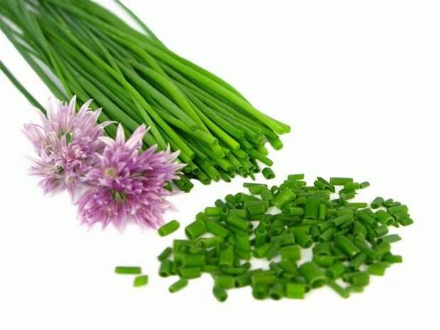 многолетний лук на зелень шнитт