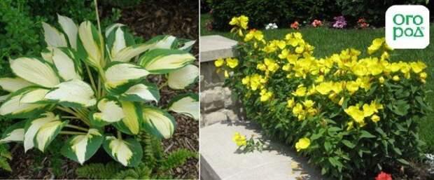 хосты с желтыми листьями и энотерой на одной клумбе