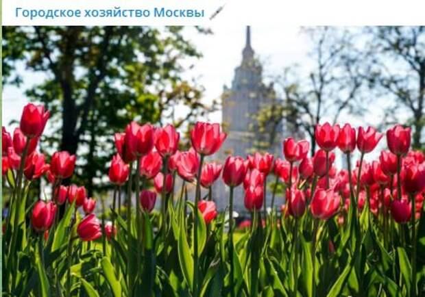 На улице Маршала Бирюзова весной расцветут 300 тысяч тюльпанов