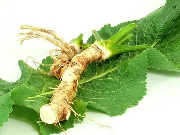 хрен - листья и корень (фото)