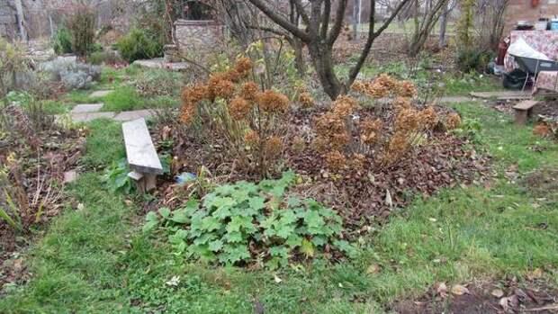 гортензия под защитой листового опада