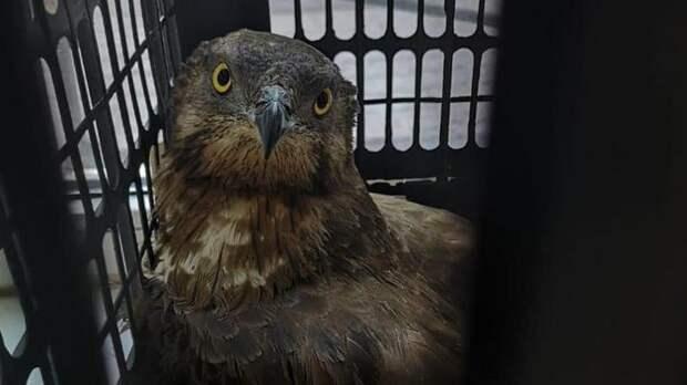 В Приморском районе краснокнижного осоеда отбили от стаи ворон