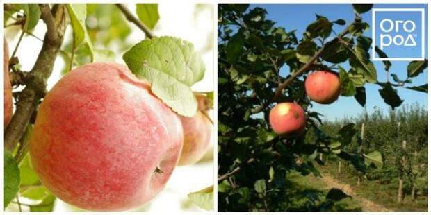 яблоки ауксис