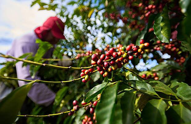 В Бразилии из-за аномальных холодов гибнет урожай кофе