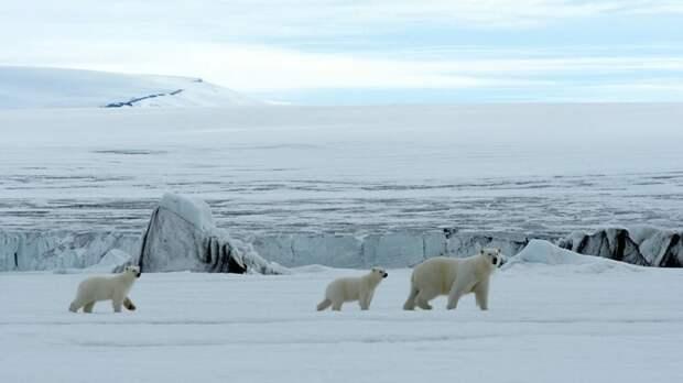 Режиссер уже почти год следит за медведицей Лирой и ее медвежатами Микки и Лукой на Шпицбергене, в самом северном регионе Норвегии Гордон Бьюкенен, белый медведь, видео, медведица, медведь, норвегия