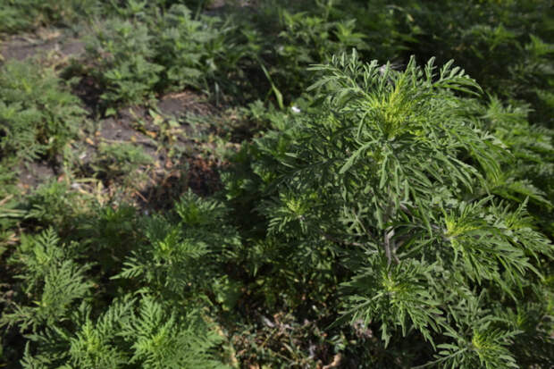 В Краснодаре уничтожили почти 4,5 тысячи гектаров амброзии