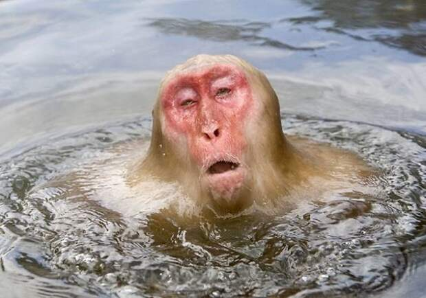 Обезьяний расслабон - не хуже, чем после бани! животные, расслабленность, смешно, фото