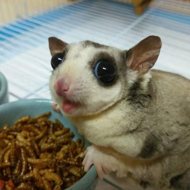 Сахарные поссумы — самые сладкие животные на свете