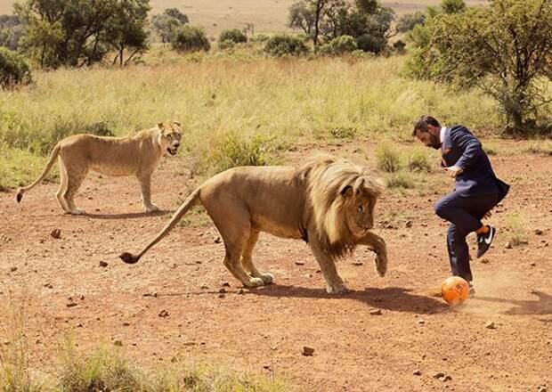 Мужчина любит играть с друзьями в футбол, а его друзья — это львы