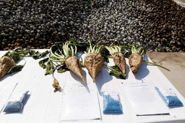 Кубанские аграрии собрали 1,2 миллиона тонн сахарной свеклы