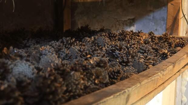 Рекордный урожай шишек собрали вРостовской области