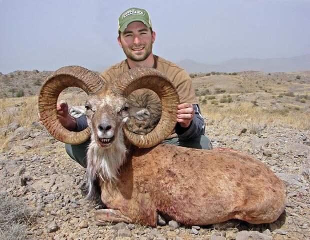 Жестокая ирония природы: горного барана убили собственные рога