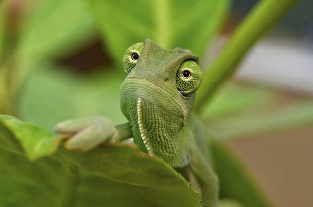 cute-baby-chameleons-58306221d6a4b__700