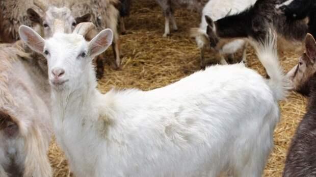 Лучшие животноводы Крыма примут участие во всероссийской выставке