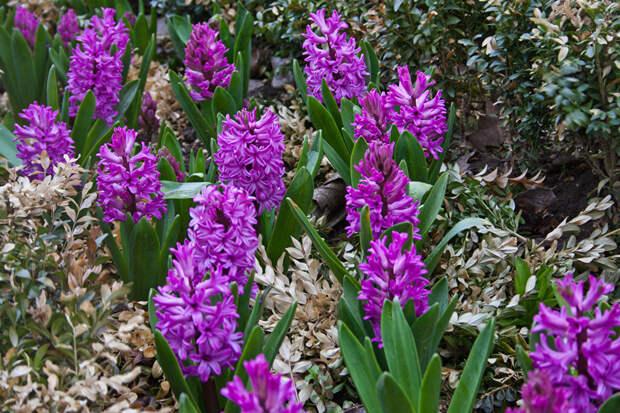 Многолетний садовый цветок Гиацинт (Hyacinthus)