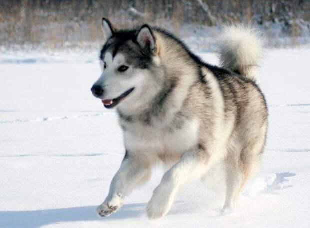 Аляскинский маламут больших, бульдог, до маленьких, питомец, породы, собак, такса