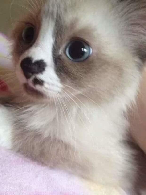 Коты с сердечками животные, забавно, коты, кошки, неожиданно, окрас, окрас кошек, фото