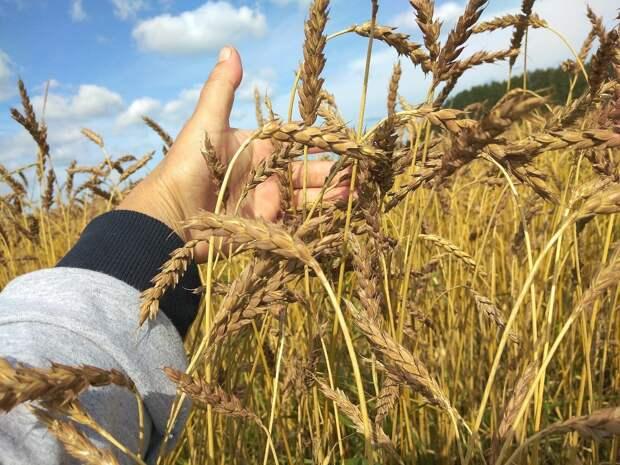 Урожай зерновых в Удмуртии составил в этом году более 700 тыс тонн
