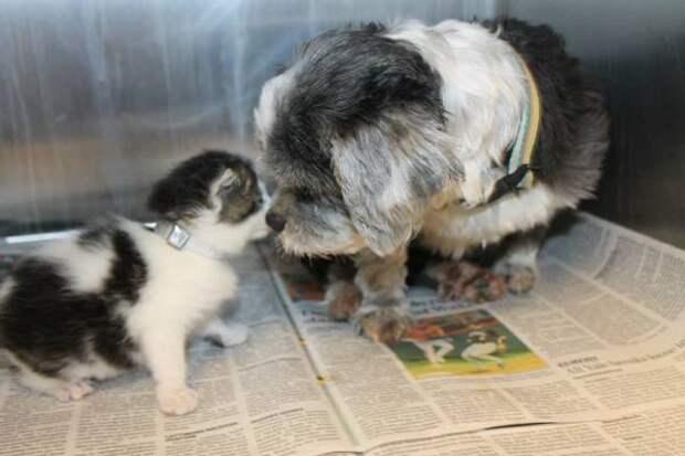 Рискуя жизнью, собака спасла котенка. А после выкормила собственным молоком!