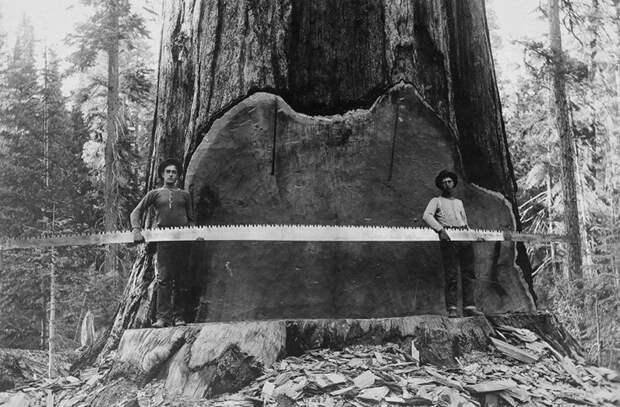 Лесорубы начала ХХ века гордились размерами собственноручно заваленных гигантов. Они охотно позировали на фоне спилов и пней.