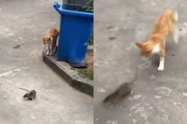 Охота наоборот: крыса дала отпор уличному коту и удивила интернет
