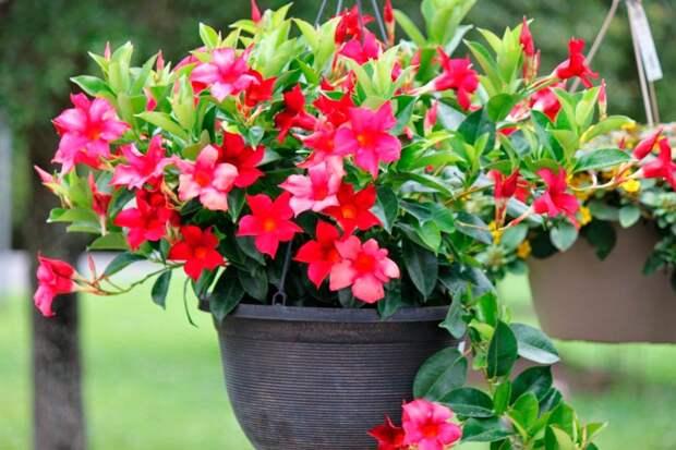 Комнатное растение Мандевилла (Mandevilla)