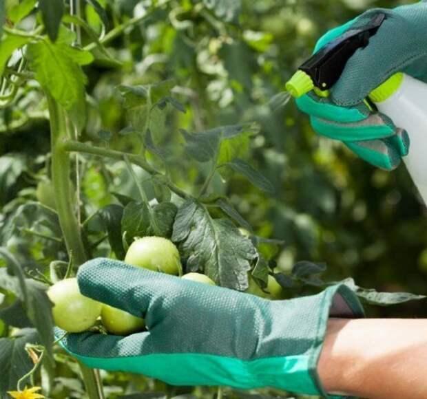 чем опрыскать томаты от болезней
