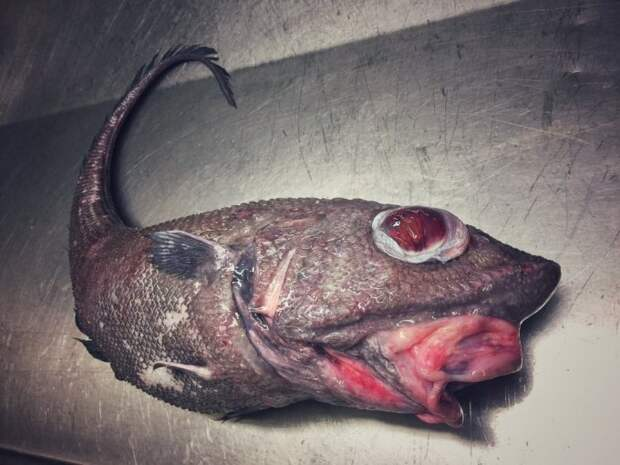 Еще один #макрурус попался в #трал. В магазинах продается тушка, чтобы не пугать покупателей. twitter, Социальные сети, вода, монстр, рыба, рыбак