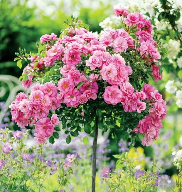 Никогда не выйдут из моды: 17 чарующих роз в саду
