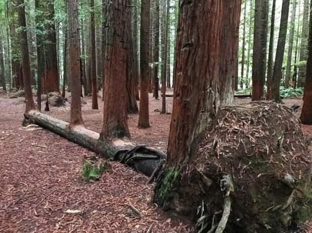 Из одного упавшего дерева выросли четыре.