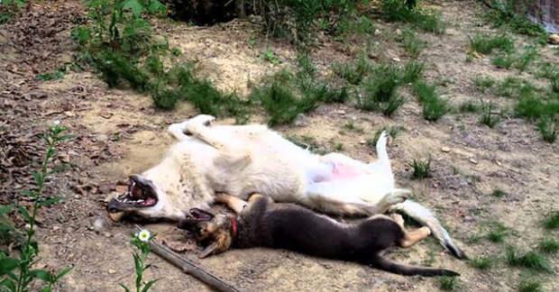 Огромный гибрид волка и щенок немецкой овчарки - лучшие друзья