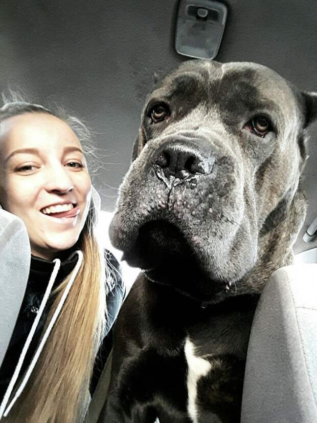 В приюте, пес-гигант породы кане-корсо не находил себе места от тоски