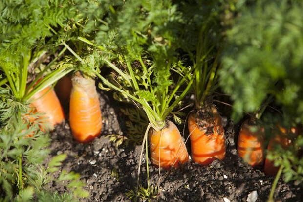 Оранжевая морковь появилась в Нидерландах в XVI веке