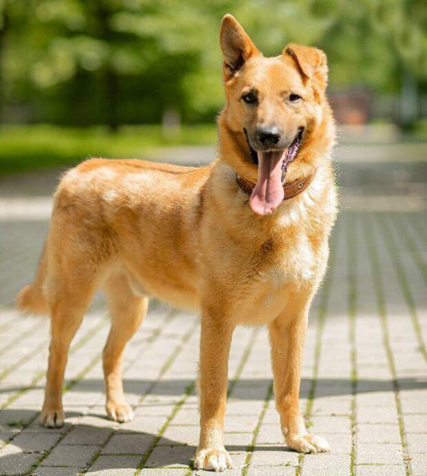 Пса по кличке Голд из приюта в СВАО отдадут в добрые руки