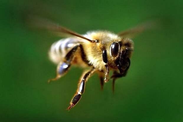 Медоносная пчела машет крыльями со скоростью 11400 раз в минуту, создавая характерное жужжание. информация, картинки, факты