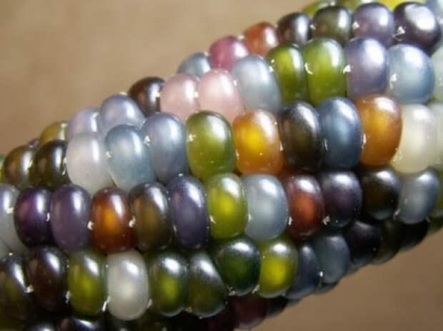 Сорт разноцветной кукурузы «Стеклянная Гемма» (Glass Gem).