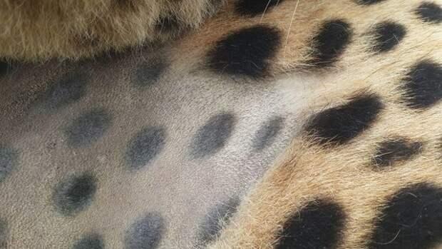 Ученые издеваются над большими кошками, чтобы доказать прописную истину животные, заняться не чем, кошки, полоски, тигры, ученые, шерсть