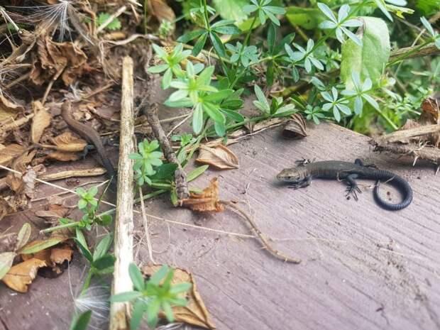 Живой уголок: в Куркине обнаружили редкую ящерицу