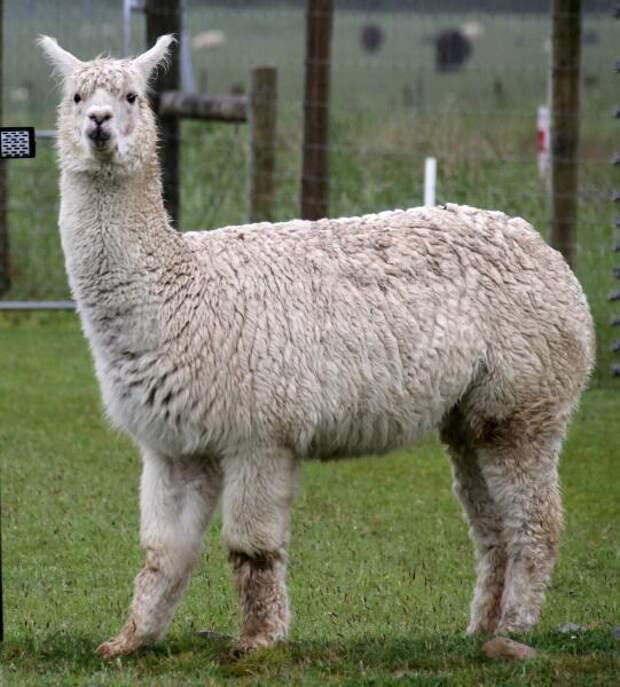 Альпака — щедрый дар богов. Чем замечательно это животное?