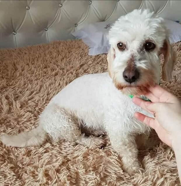 Динмонт терьер достался нам даром с рынка, но мы до последнего не знали, что это породистая собака