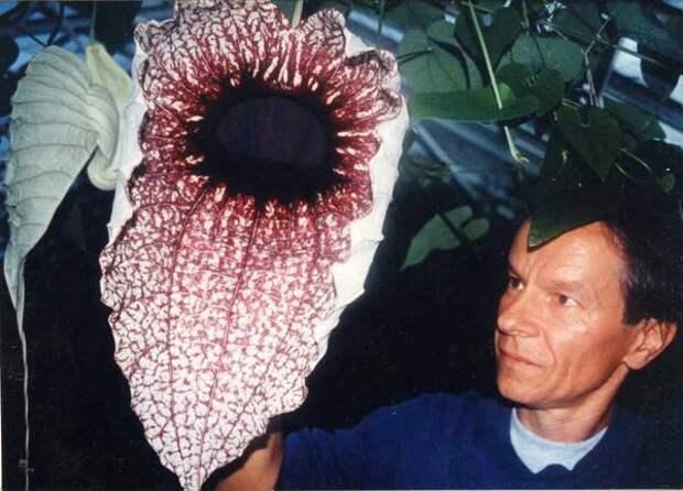 Кирказон крупноцветковый. Фото из делектуса (списка семян), доставшееся мне в подарок